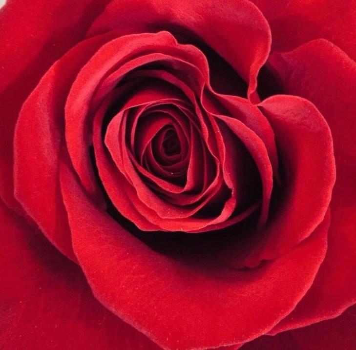 Rose_The_lens